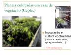 plantas cultivadas em casa de vegeta o ceplac