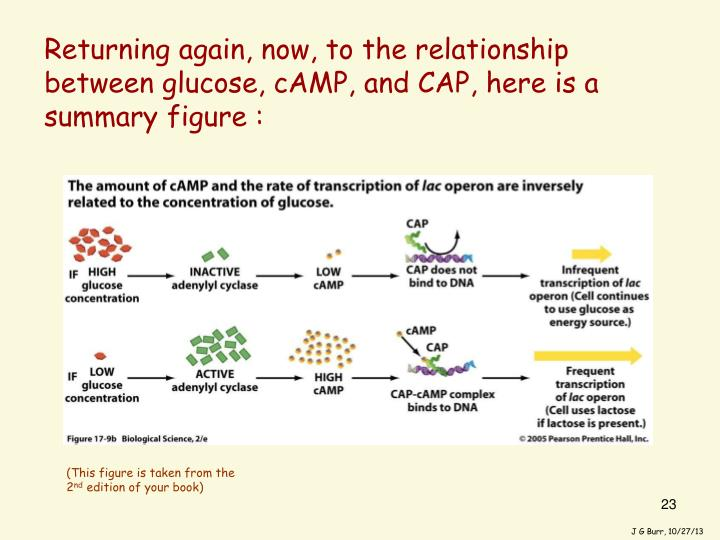 Returning again, now, to the relationship between glucose, cAMP, and CAP, here is a summary figure :