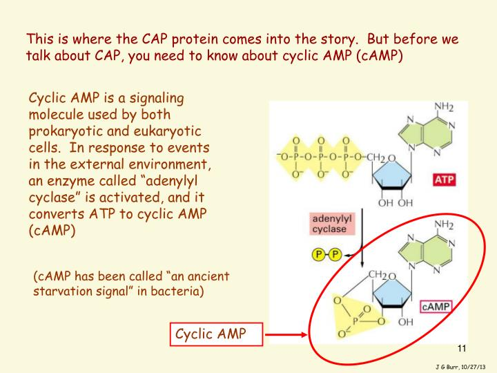 This is where the CAP protein comes into the story.  But before we talk about CAP, you need to know about cyclic AMP (cAMP)