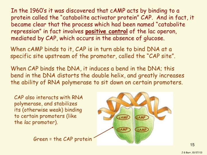 """In the 1960's it was discovered that cAMP acts by binding to a protein called the """"catabolite activator protein"""" CAP.  And in fact, it became clear that the process which had been named """"catabolite repression"""" in fact involves"""