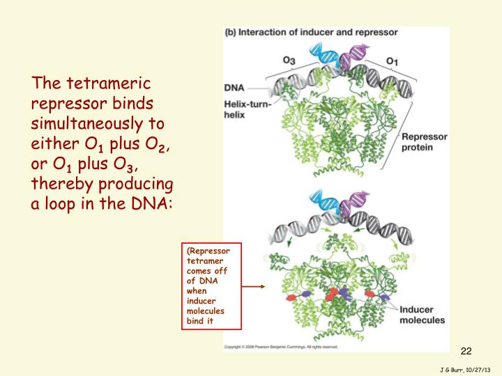 The tetrameric repressor binds simultaneously to either O