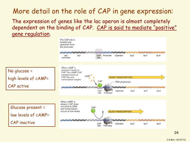 The expression of genes like the lac operon is almost completely dependent on the binding of CAP.