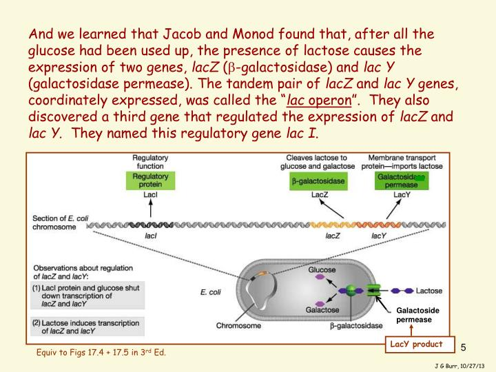 And we learned that Jacob and Monod found that, after all the glucose had been used up, the presence of lactose causes the expression of two genes,