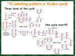 13 c labeling pattern a krebs cycle