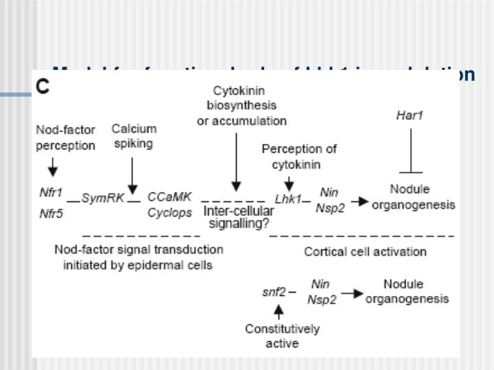 Model for functional role of Lhk1 in nodulation