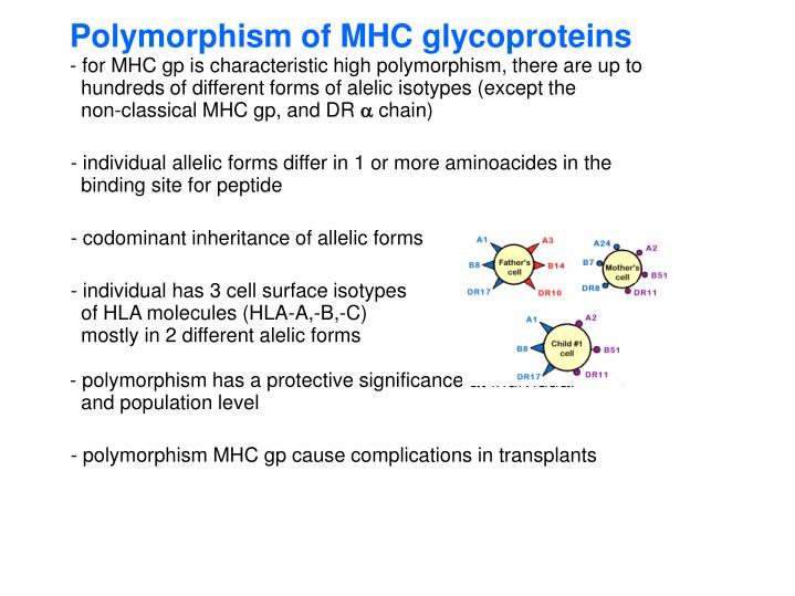 Polymorphism of MHC glycoproteins
