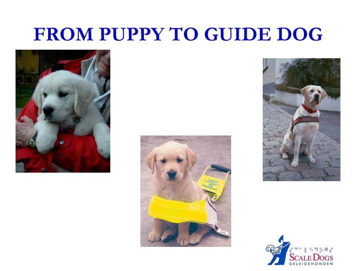 from puppy to guide dog n.