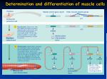 determination and differentiation of muscle cells2