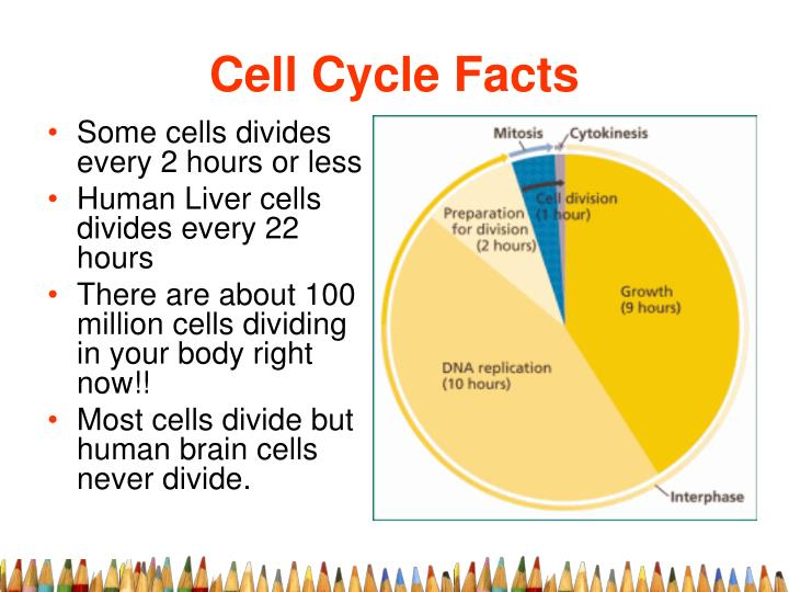Cell Cycle Facts