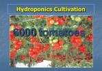 hydroponics cultivation