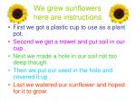 we grew sunflowers here are instructions