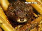 hermelina