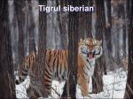 tigrul siberian