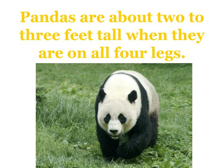 Pandas are about two to three feet tall when they are on all four legs.