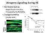 atrogene signaling during hs
