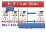 half sib analysis1