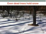 even dead trees hold snow