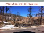 wildlife trees may fall years later