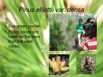 pinus elliottii var densa