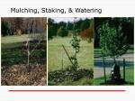 mulching staking watering