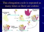 this elongation cycle is repeated as many times as there are codons