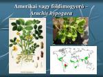amerikai vagy f ldimogyor arachis hypogaea
