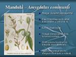 mandula amygdalus communis