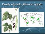 paszuly vagy bab phaseolus vulgaris1