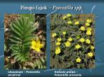 pimp fajok potentilla spp