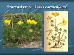 szarvaskerep lotus corniculatus