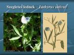 szegletes lednek lathyrus sativus