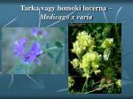tarka vagy homoki lucerna medicago x varia