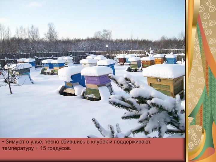 Зимуют в улье, тесно сбившись в клубок и поддерживают температуру + 15 градусов.