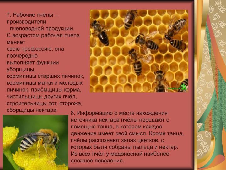 7. Рабочие пчёлы – производители