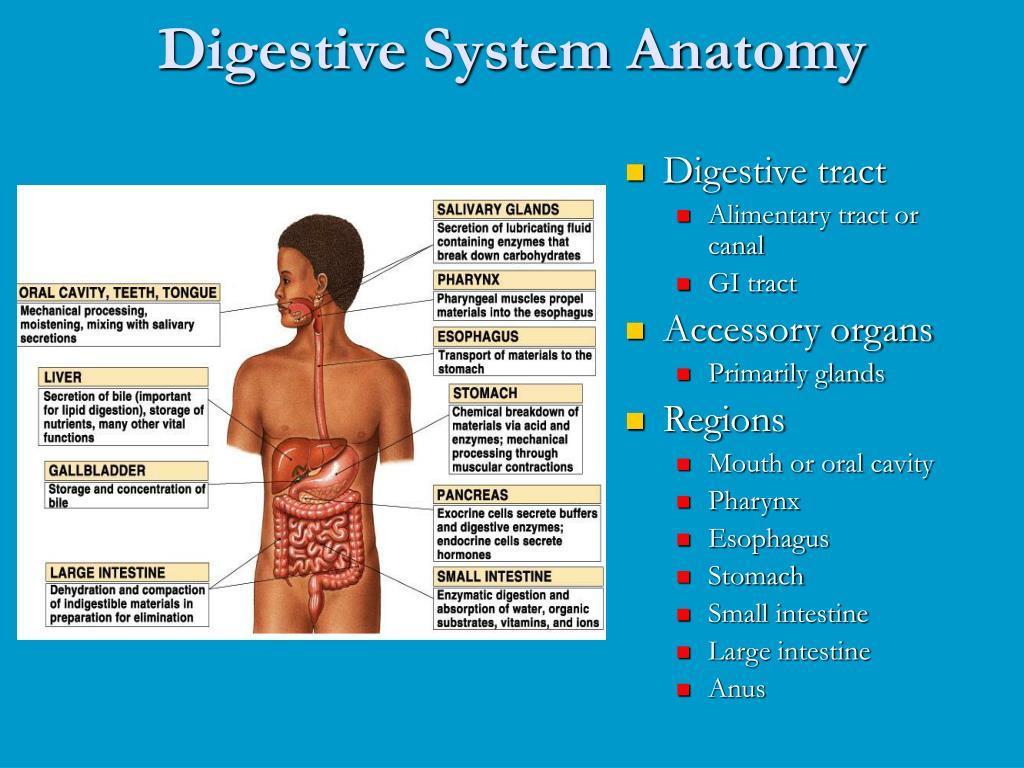 PPT - Digestive System Anatomy PowerPoint Presentation - ID:3920079