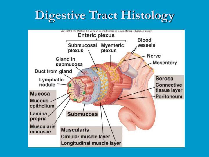 Ppt Digestive System Anatomy Powerpoint Presentation Id3920079