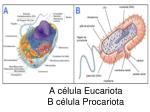 a c lula eucariota b c lula procariota