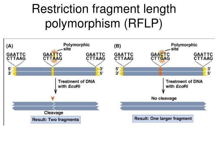 Restriction fragment length polymorphism (RFLP)