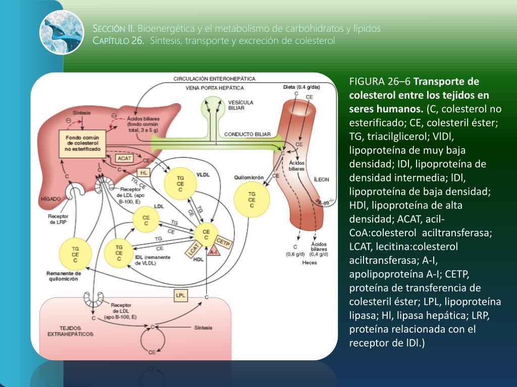 transporte y excrecion del colesterol