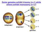 some gametes exhibit trisomy n 1 while others exhibit monosomy n 1