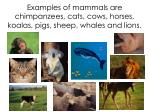 examples of mammals are chimpanzees cats cows horses koalas pigs sheep whales and lions