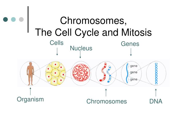 chromosomes the cell cycle and mitosis n.