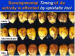 developmental timing of ac activity is affected by epistatic loci