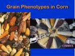 grain phenotypes in corn
