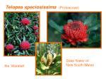 telopea speciosissima proteaceae