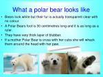 what a polar bear looks like