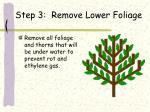 step 3 remove lower foliage