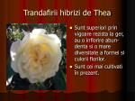 trandafirii hibrizi de thea