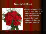 trandafirii rosii