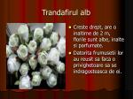 trandafirul alb